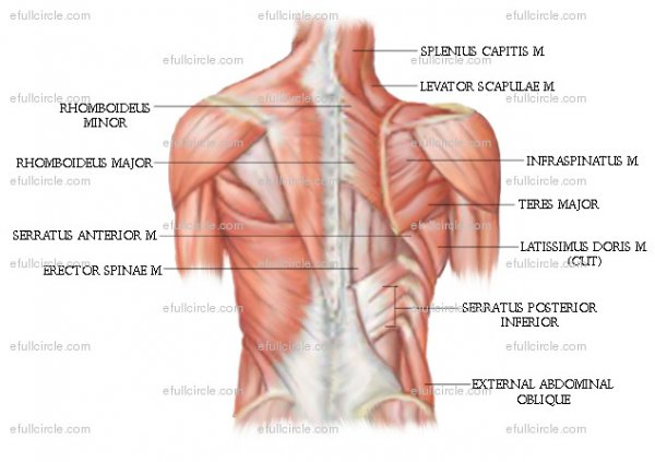 Anatomy Posters - Spontaneous Muscle Release