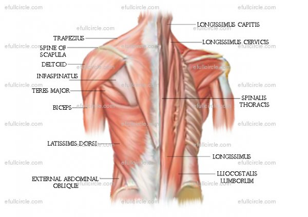 Anatomy Posters - Spontaneous Muscle Release TechniqueSpontaneous ...