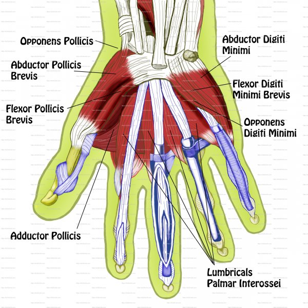 Intrinsic Muscles of Hand https://efullcircle.com/anatomy-posters/