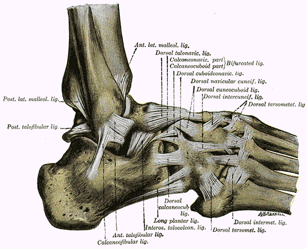 Ankle on Left Foot Tendons Diagram