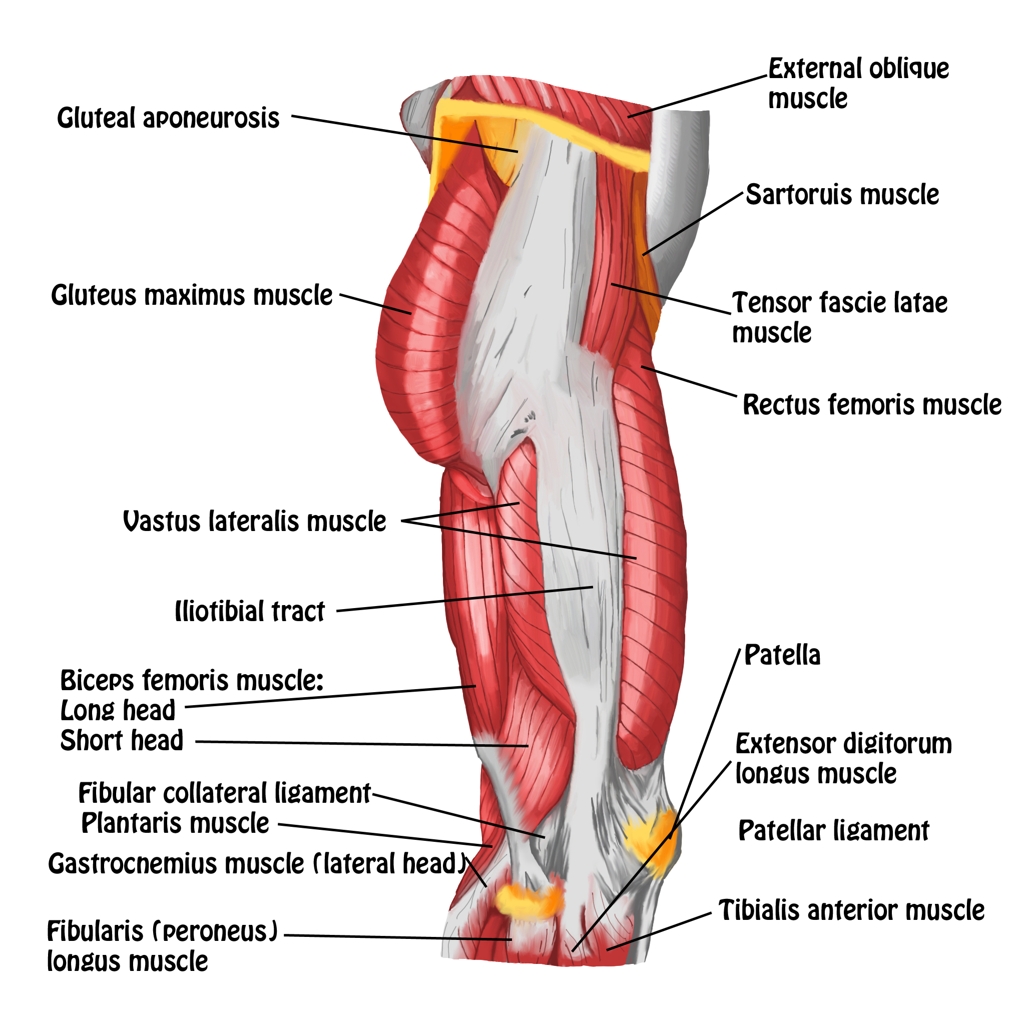 Muscles Of Hip And Thigh Lateral View Spontaneous Muscle Release